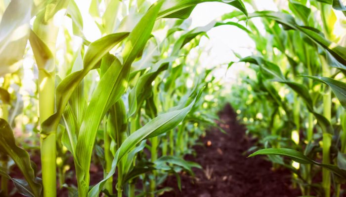 Corn agriculture. Green nature. Rural field on farm land in summer. Plant growth. Farming scene. Outdoor landscape. Organic leaf. Crop season. Sun in the sky