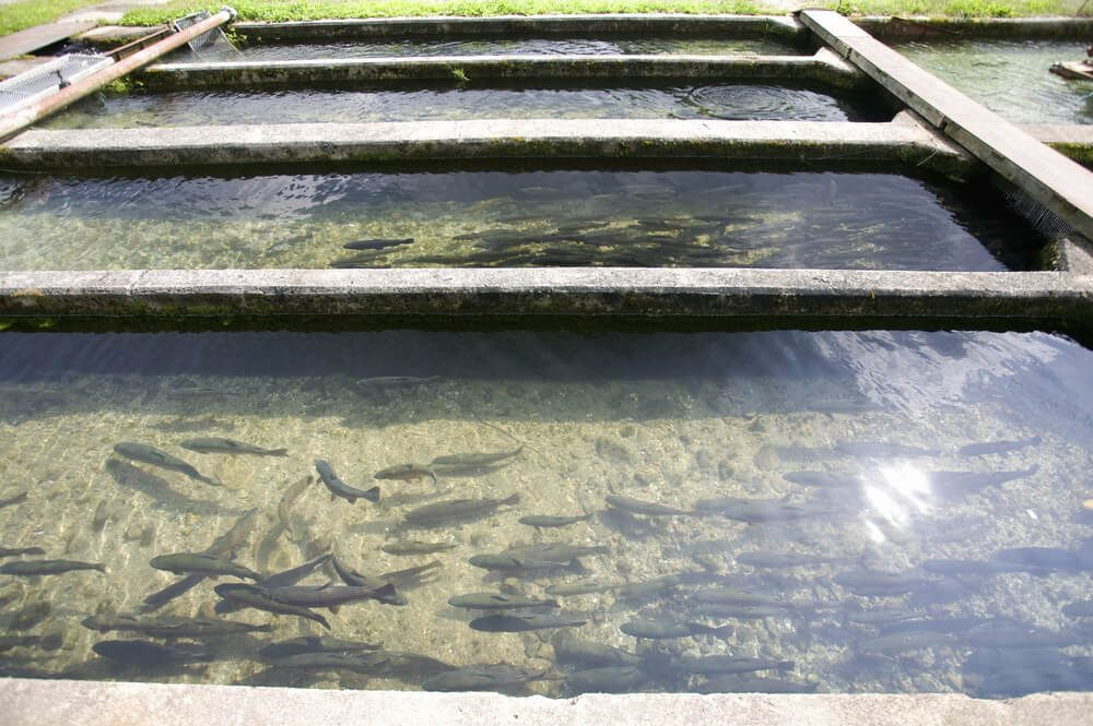Trout fish farm